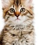 Siberian kitten — Stock Photo