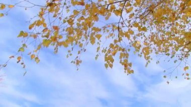 Birch branch with yellow leaves — Stock Video