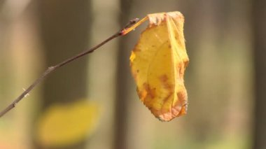 Wilted leaf swaying in the wind — Stock Video