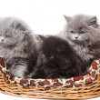 British kittens - Stockfoto