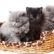 British kittens - Stock Photo