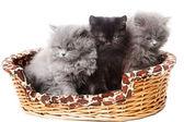 British kittens — Stock Photo
