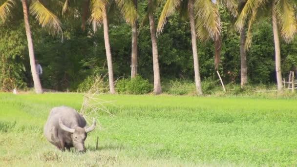 Pâturages dans le domaine de buffalo — Vidéo
