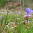 Stock Video: Campanulpersicifoli(Peach-leaved Bellflower)