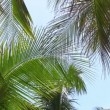 Stock Video: Coconut palm