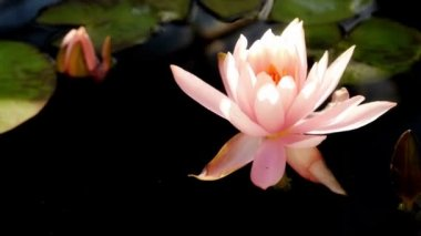Time lapse opening of water lily flower — Stock Video