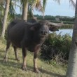 Asian buffalo in a wild nature — Stock Video