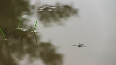 Pond skaters on a surface of water — Stock Video