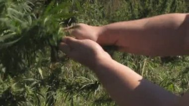 Cannabis Leaf In The Hand — Stock Video