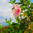 Pink Hibiscus Blossom — Stock Photo #39827515