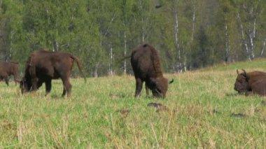 Manada de bisontes pastando — Vídeo de stock