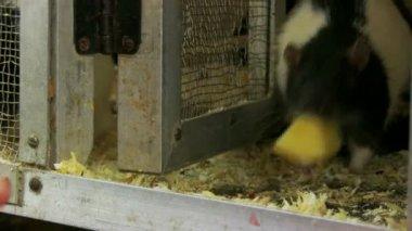 Man feeding a rat — Stock Video