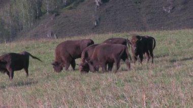 Bison herd grazing — Stock Video