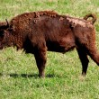 Wild bison — Stock Photo #40129889