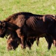 Stock Photo: Wild bison