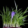 Blossoming crocus in a pot — Stock Video #41252885