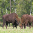Stock Video: Bison herd grazing