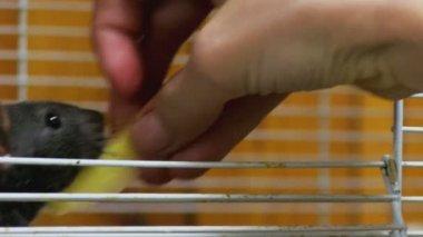 Feeding rats — Stock Video