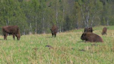 Bison herd grazing — Video Stock