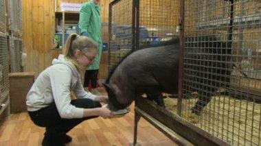 Girl feeding pig — Stock Video