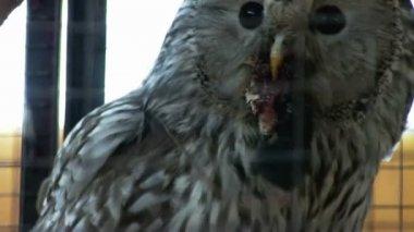 Owl feeding on mouse — Stock video