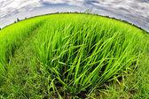 Zielony ryżu pola, wietnam — Zdjęcie stockowe