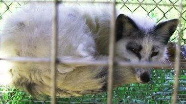 Young fox lying — Stock Video