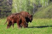 Bisão selvagem — Fotografia Stock