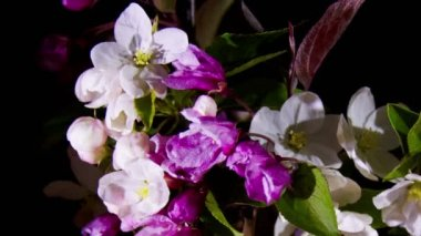 Blossoming apple flowers — Stock Video