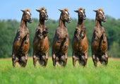 Five rear ponies — Stock Photo