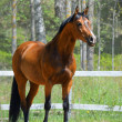 Bay stallion of Ukrainian riding breed - Stock Photo