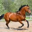 Bay stallion of Ukrainian riding breed — Photo