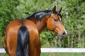Bay stallion of Ukrainian riding breed — Stock Photo