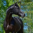 Black stallion of Russian riding breed - Stock Photo