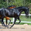 Black stallion and bay stallion gallop on manege — Stock Photo