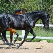 Black stallion and bay stallion gallop on manege - Stock Photo