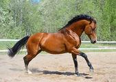 Bay horse of Ukrainian riding breed — Stock Photo