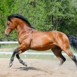Bay horse of Ukrainian riding breed in motion - Stock Photo