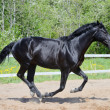 Black stallion of Russian riding breed in motion - Stock Photo