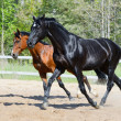 Black stallion and bay stallion in motion — Stock Photo