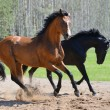 Two stallions gallop on manege — Stock Photo