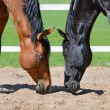 Two stallions smell sand - Stock Photo