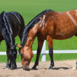 Two horses walk on manege — Stock Photo