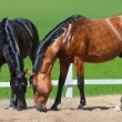 Two horses walk on manege - Stock Photo