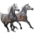 Two gray arabian horses gallop on white background — Stock Photo #21193791