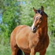 Bay purebred horse — Stock Photo #27163731
