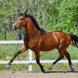 Troting bay purebred horse — Stock Photo