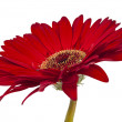 Red gerbera isolated — Stock Photo