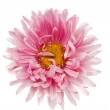 Pink aster isolated — Stock Photo #12623940