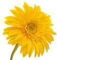 Beautiful daisy gerbera flower isolated — Stock Photo